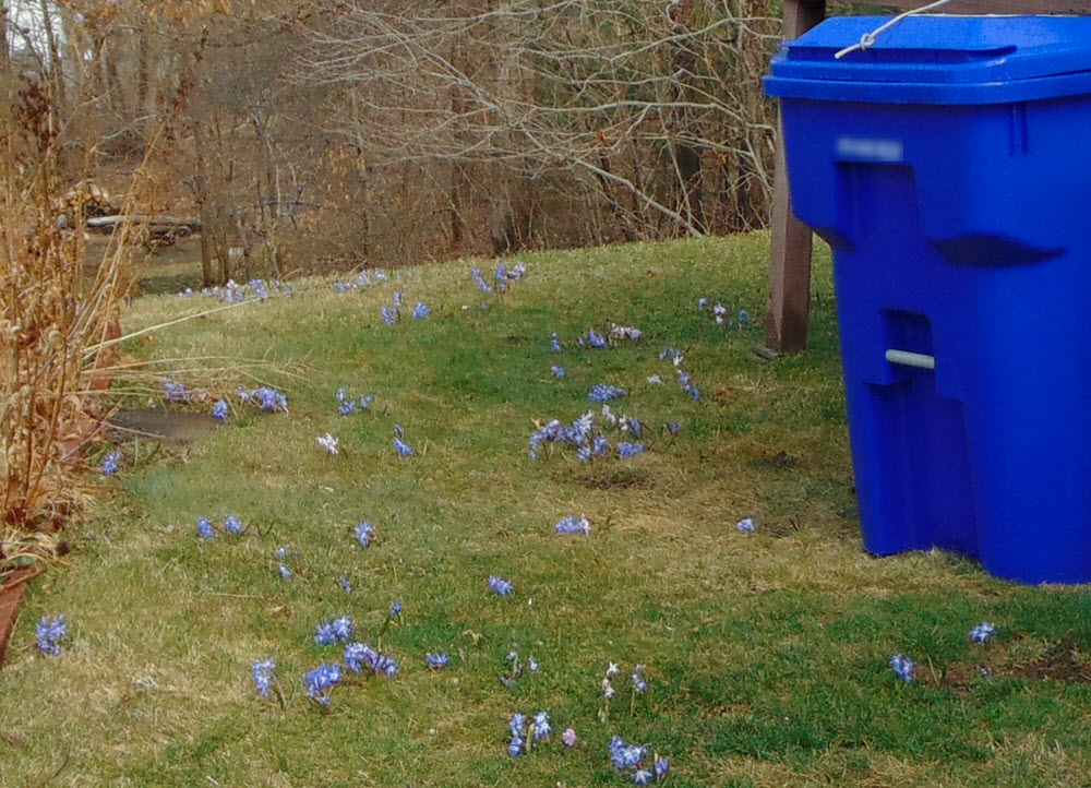 Recycling Bin and Glory of the Snow
